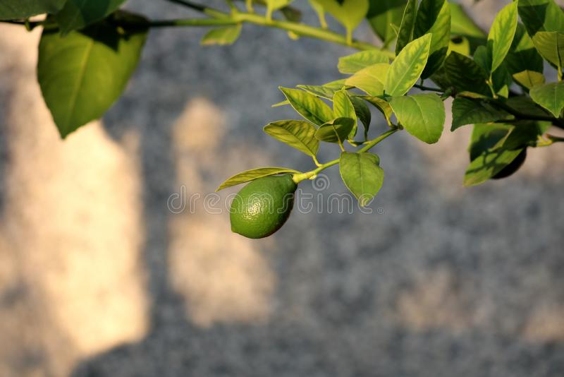 Lemon or Citrus limon plant with single bright green fresh lemon fruit growing on branch with multiple leaves on grey wall royalty free stock image