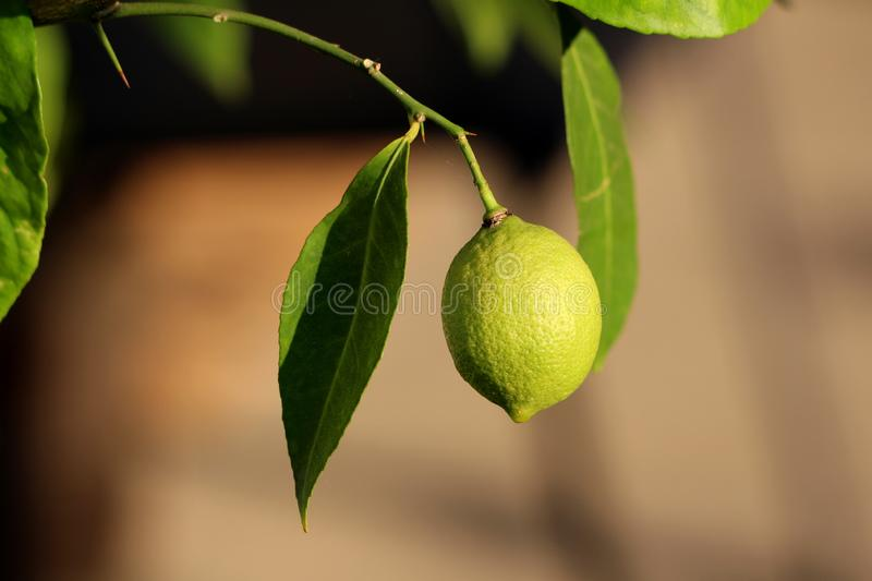 Lemon or Citrus limon plant with single light green to yellow fresh organic lemon fruit growing on branch surrounded with leaves stock image