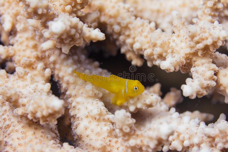Lemon Coralgoby on a Table Coral stock images
