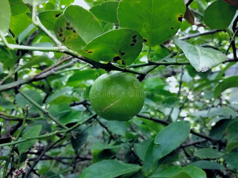 Lemon em uma árvore limão imagens de stock