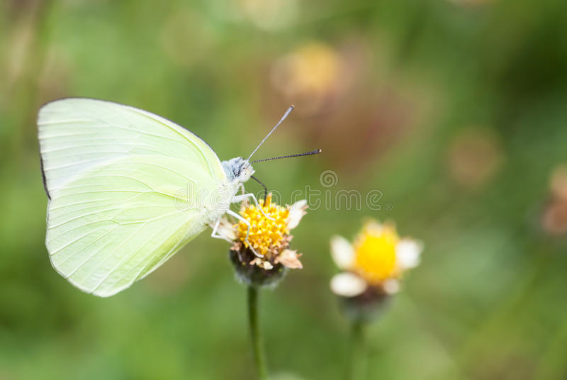 Lemon emigrant butterfly collecting nectar from flower and insect pollinator in the nature. Butterfly collecting nectar from flower and insect pollinator in the stock photo
