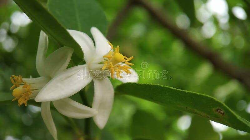 Lemon flower macro shot well focused with green leaves royalty free stock photos