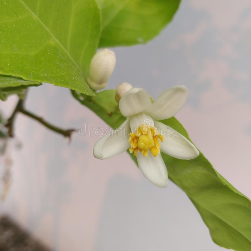 Lemon flower with white petals  yellow central parts and green coloured leaves royalty free stock photo