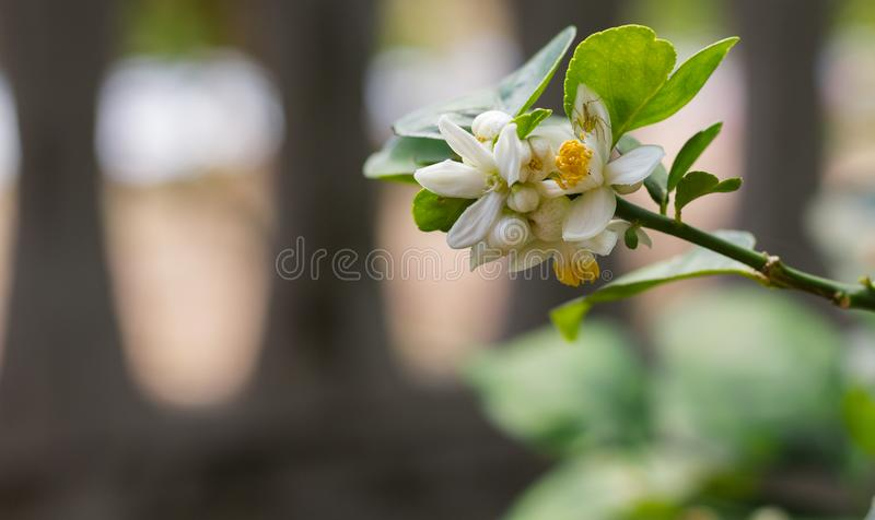 Lemon flowers blossoming on the branches of the lemon tree. royalty free stock image