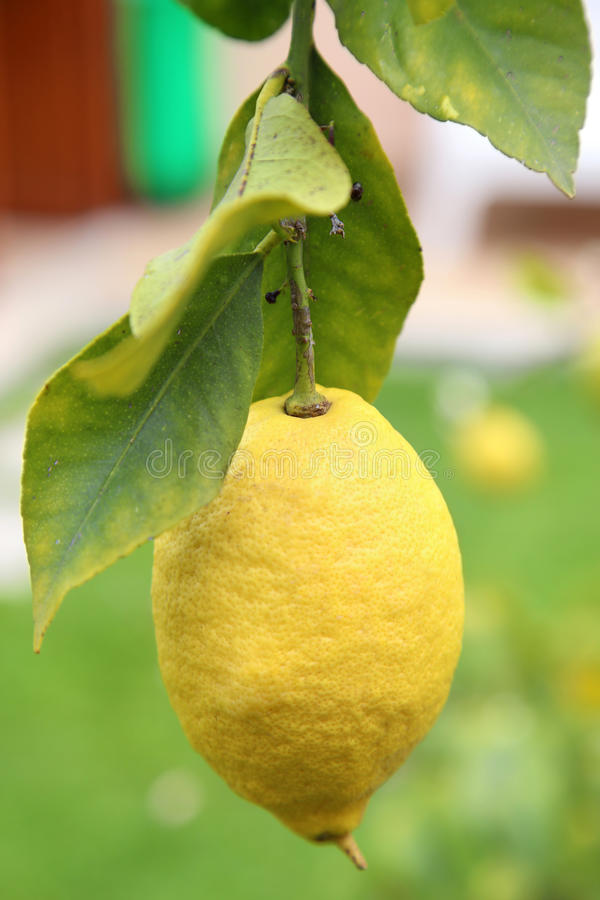 Lemon with foliage in closeup. Details of Lemon with foliage on the tree royalty free stock images