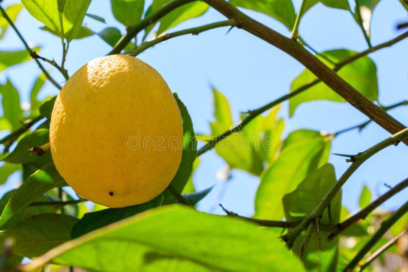 Lemon fruit hanging on a tree branch stock photos