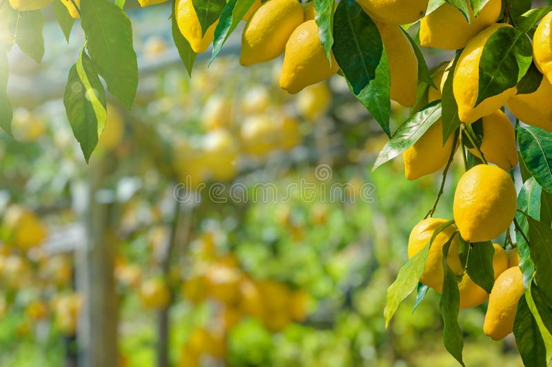 Bunches of fresh yellow ripe lemons with green leaves royalty free stock photos
