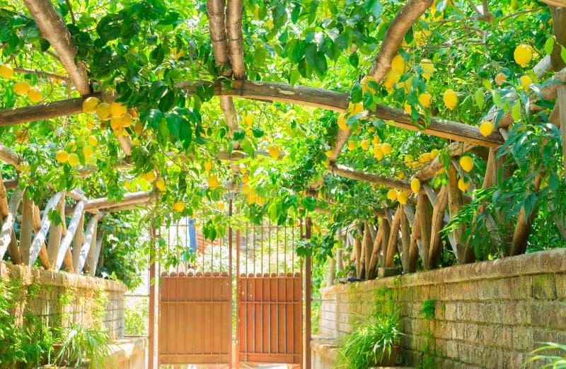Lemon garden of Sorrento. Fruits arch in Lemon garden of Sorrento at summer stock photos