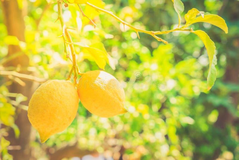 Lemon garden of Sorrento. Nging Lemon Fruits in Lemon garden of Sorrento at summer with sunshine stock photos