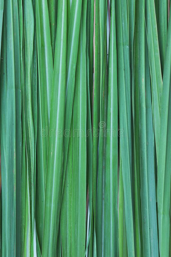 Lemon grass leaf black ground texture. Lemon grass plant leaf background Lemon grass Other names are lemongrass, barbed wire grass, silky heads, citronella stock image