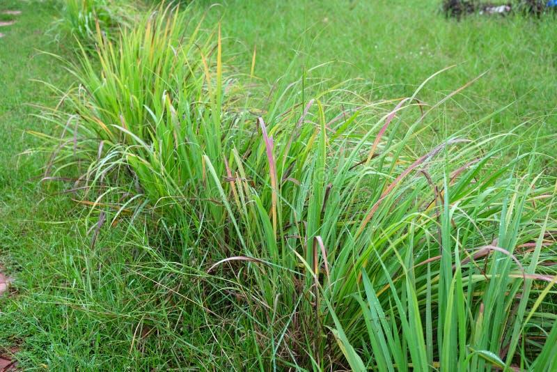 Lemon grass. Or Cymbopogon citratus, Herb , Thailand royalty free stock images