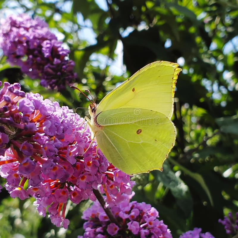 Lemon green butterfly in the sun and purple flower. Lemon green butterfly in the sun and  flower, macro, animal, insects, butterflies, nature, shots royalty free stock image