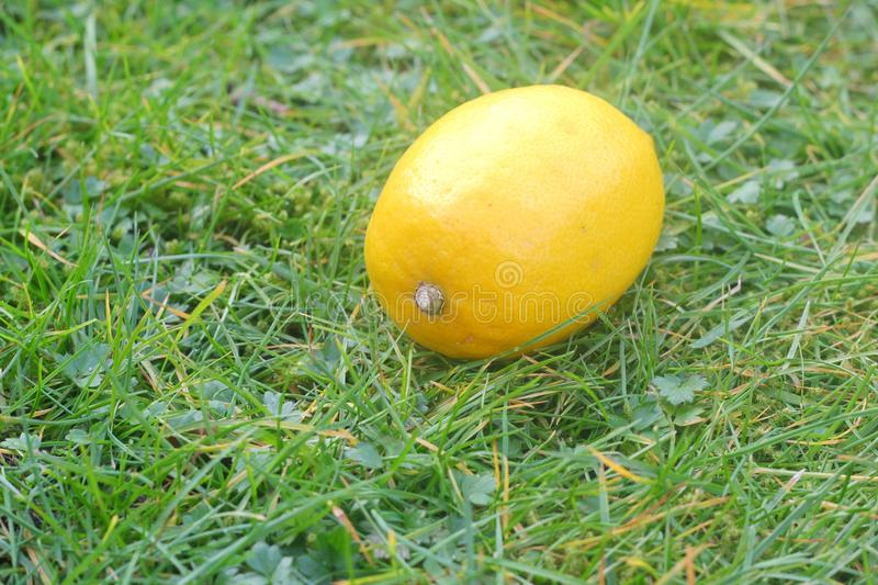 Lemon on a background of grass. Lemon, on a green lawn background in the garden stock images