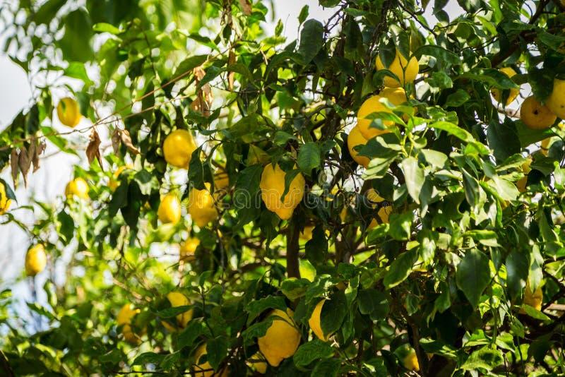 Lemon Grove fotos de stock