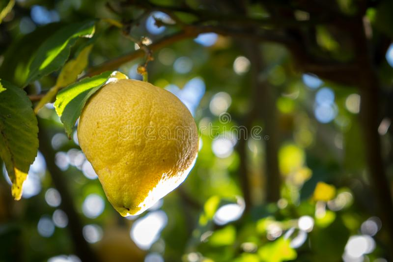 Lemon hanging on tree branch. stock photo