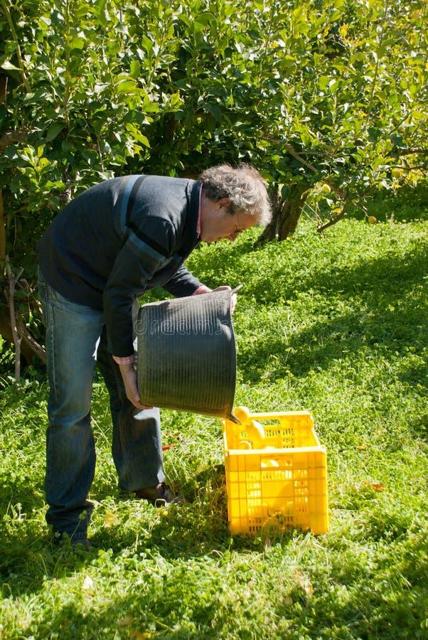 Download Lemon harvest stock image. Image of grove, sunshine, agriculture - 25607857