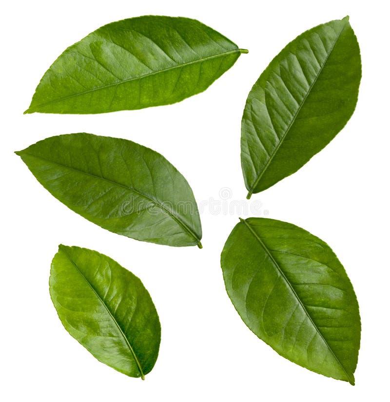 Lemon Leaves isolated stock photo
