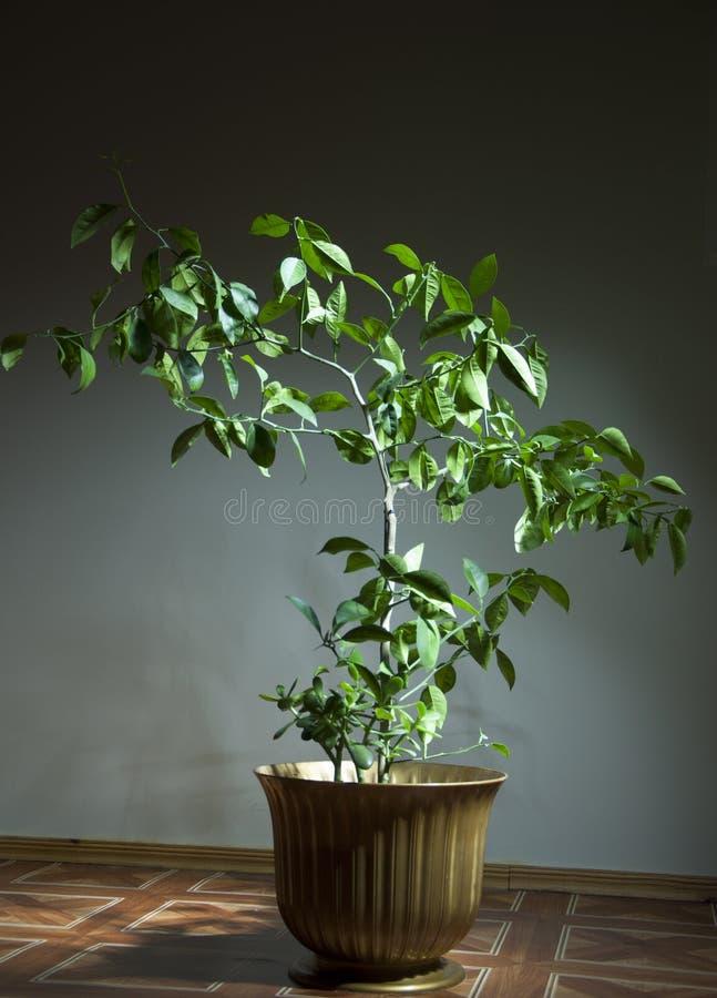 Lemon, lemon Tree, лимонное дерево, дерево лимона stock photos