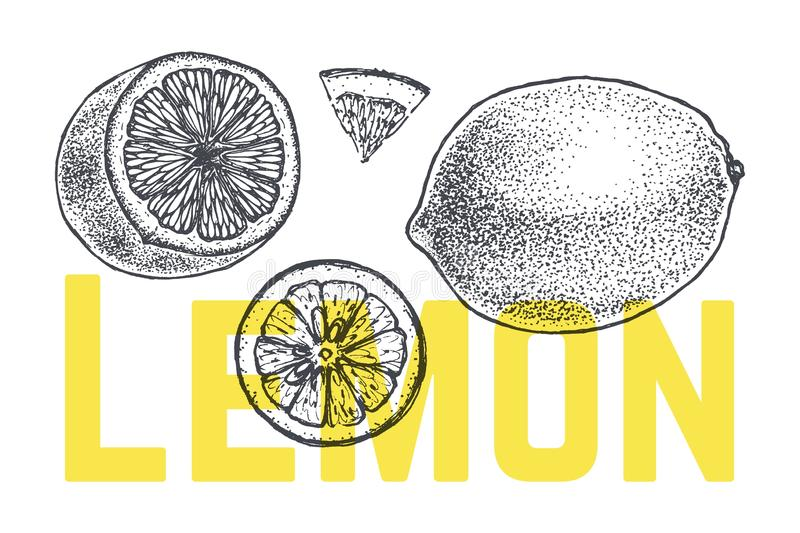 Lemon or lime hand drawn sketch. Vintage vector. Lemon sketch in vintage engraving style. Hand drawn fresh and sliced lime icons set isolated on white. Organic vector illustration