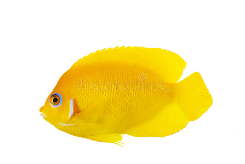 Lemon Peel Angelfish royalty free stock photography