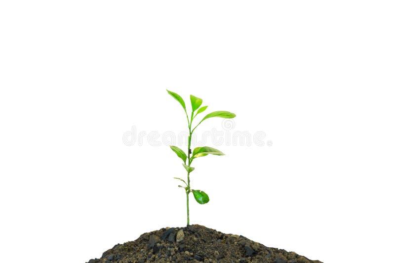 Lemon plant royalty free stock photography