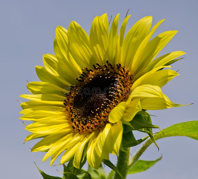 Lemon Queen Sunflower stock images