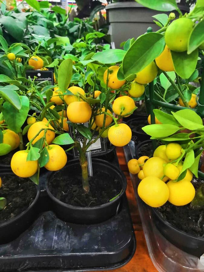 Lemon. Ripe Lemons hanging on a lemon tree. stock photography