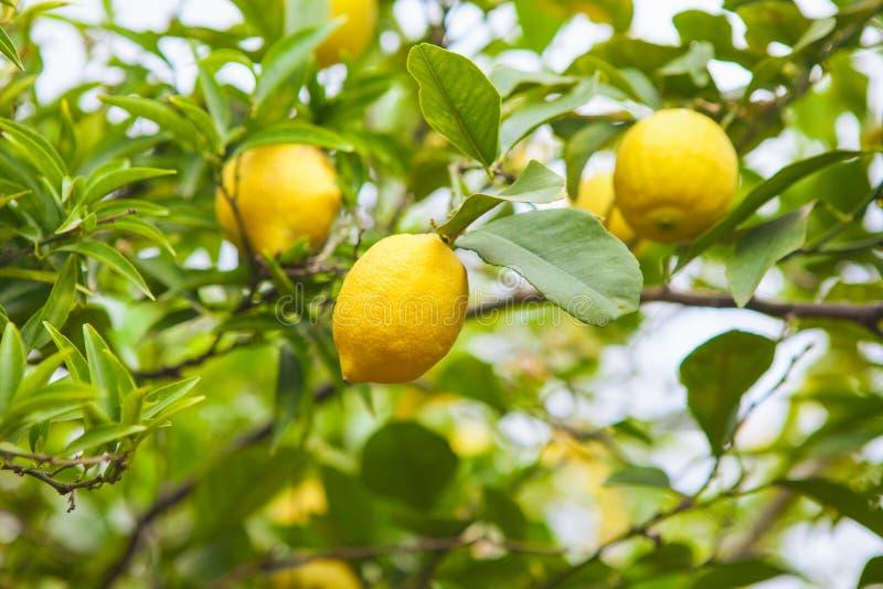 Lemon. Ripe Lemons hanging on tree. royalty free stock photo