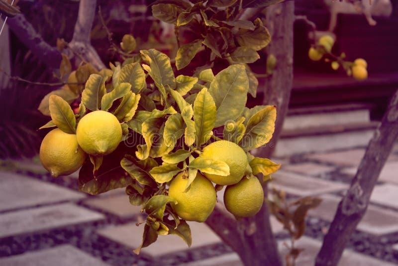 Lemon. Ripe Lemons hanging on tree. royalty free stock photography