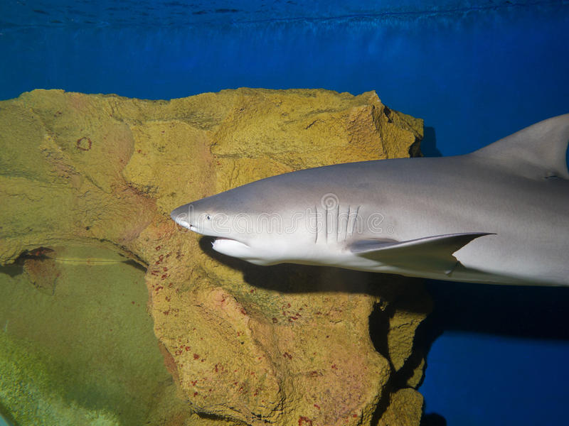 Download Lemon shark stock photo. Image of animal, color, kite - 23785872