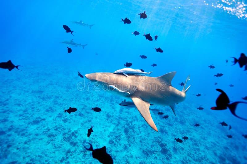 Download Lemon Shark Stock Photo - Image: 26164070