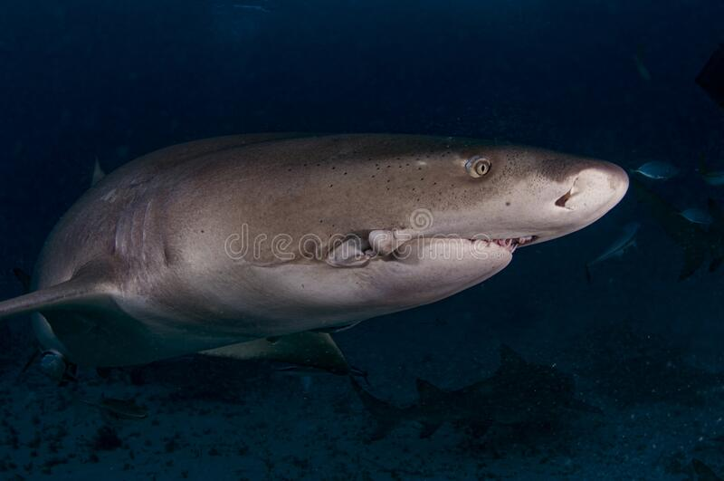 Lemon Shark Jaw injury royalty free stock photo