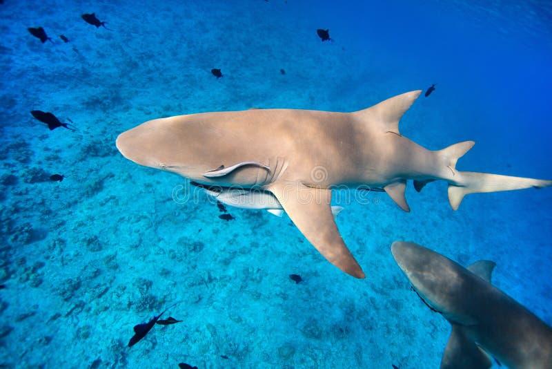 Download Lemon sharks stock image. Image of pacific, bora, nature - 26303129