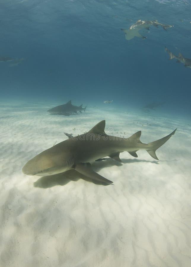 Lemon Sharks royalty free stock image