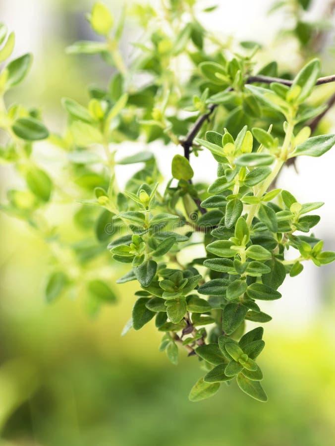Lemon-thyme stock photography