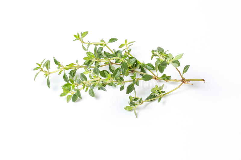 Lemon Thyme Herb stock photo