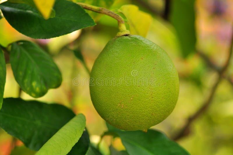 Lemon tree. A closeup of a green lemon in a tree royalty free stock image