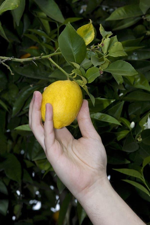 Free Lemon Tree Stock Image - 4945841