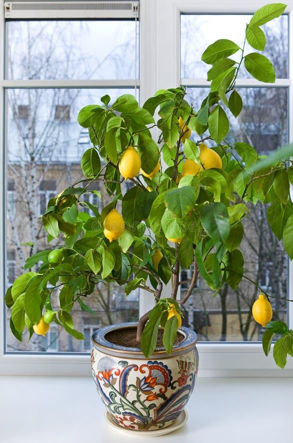 Lemon tree. In flowerpot on the windowsill stock photography