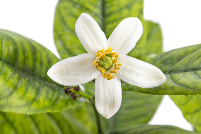 Lemon tree flower. Lemon tree blossom, citrus flower with leaves isolated on white background royalty free stock image