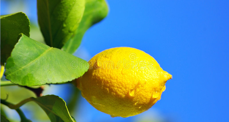 Lemon tree branch and leaves.