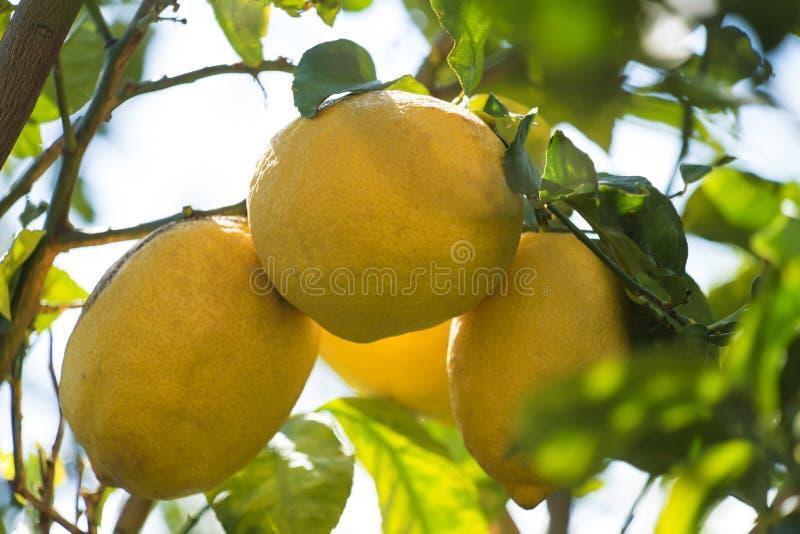 Lemon tree branch. royalty free stock image