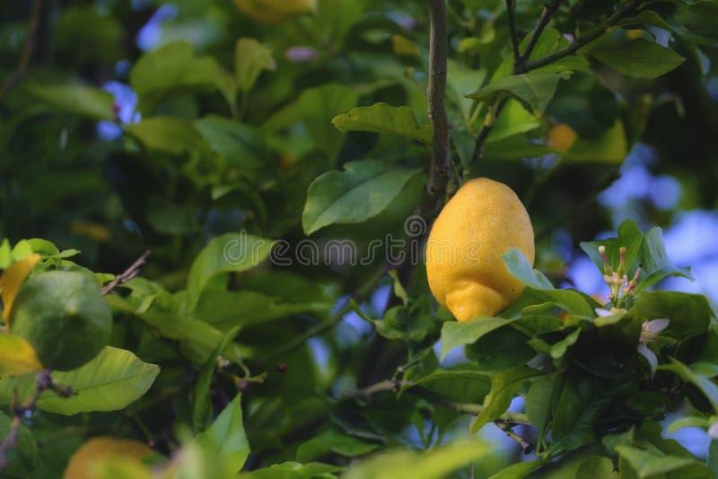 Lemon tree, citron, lemonade. Photo of a typical mediterranian fruit garden, full of lemon trees. Main object of the image - quite big ripe yellow lemon with it` stock photo