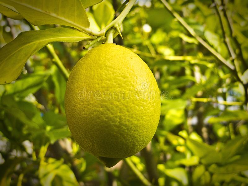 Lemon on a tree stock photos