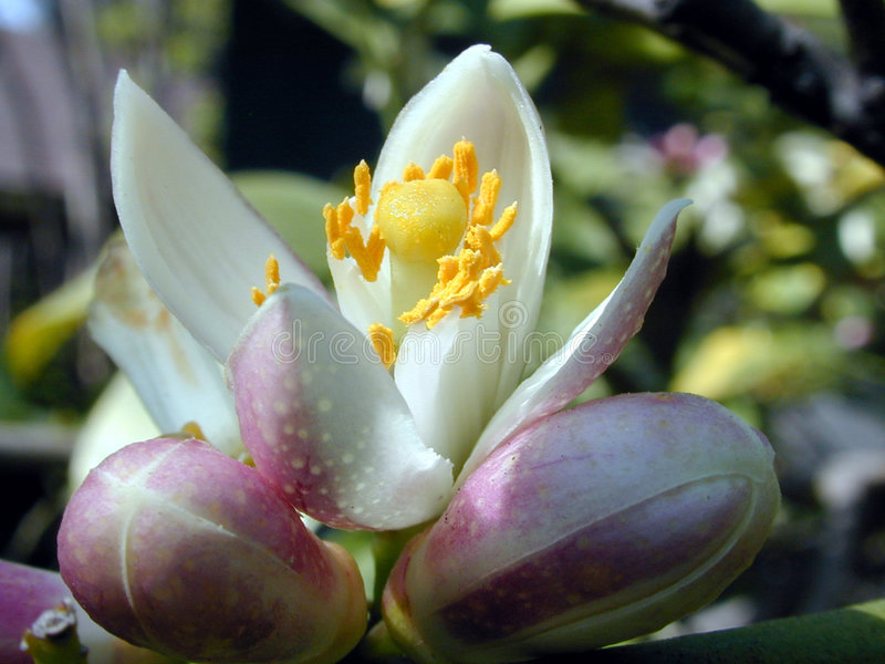 Lemon Tree Flower and Buds. The flower and buds on a lemon tree stock photo