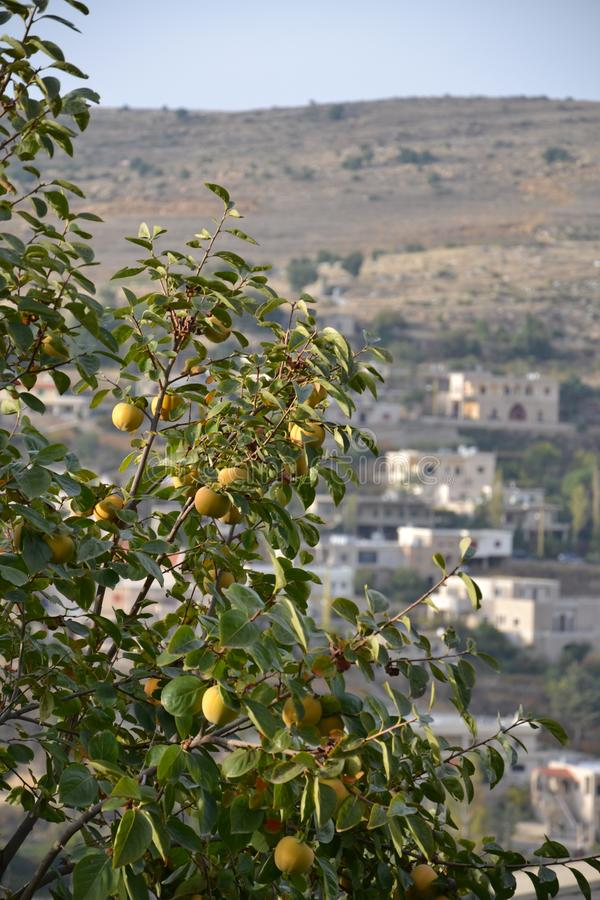 Lemon trees in Lebanon royalty free stock images