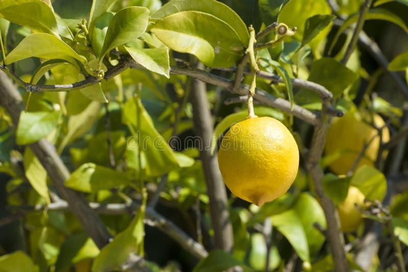 Lemon on tree. Lemon fruit riping on tree royalty free stock photo