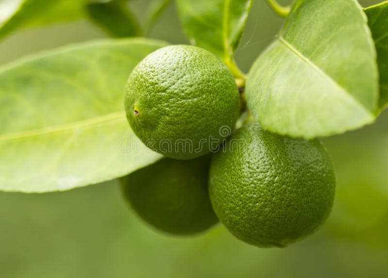Download Lemon on the tree stock image. Image of fruit, nature - 39511641