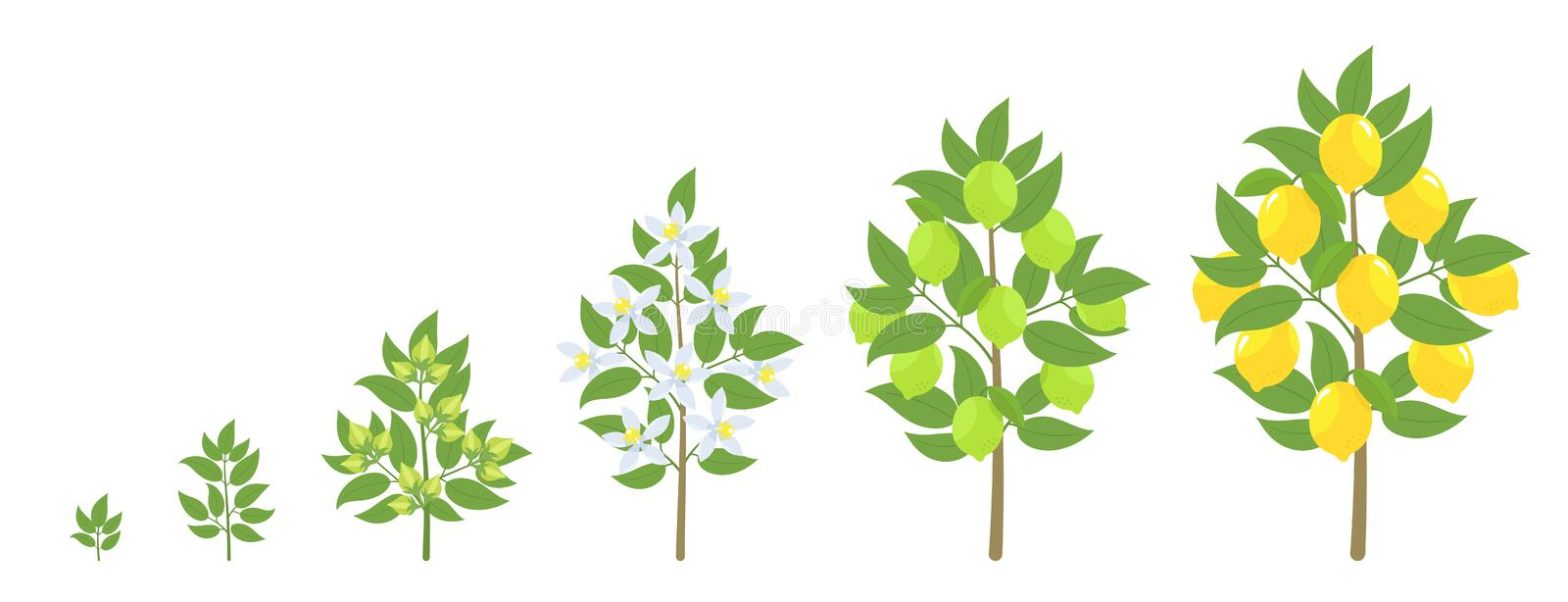 Lemon tree growth stages. Ripening period progression. Fruit tree life cycle animation plant seedling. Lemon increase phases. Lemon tree growth stages. Vector vector illustration