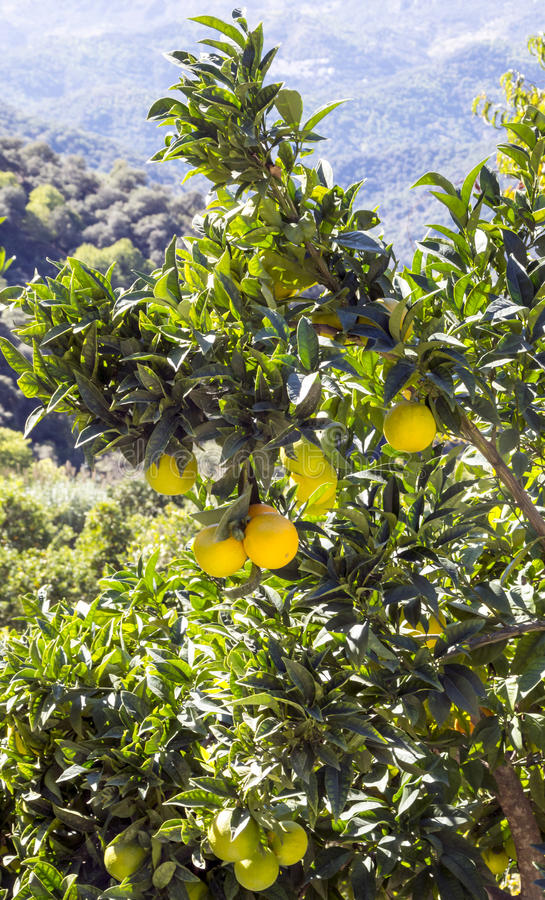 Free Lemon Tree In The Mountains Of Lucena Royalty Free Stock Images - 86201229